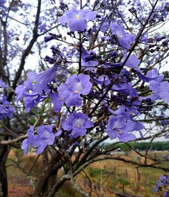 flores_do_jacaranda_brasiliana