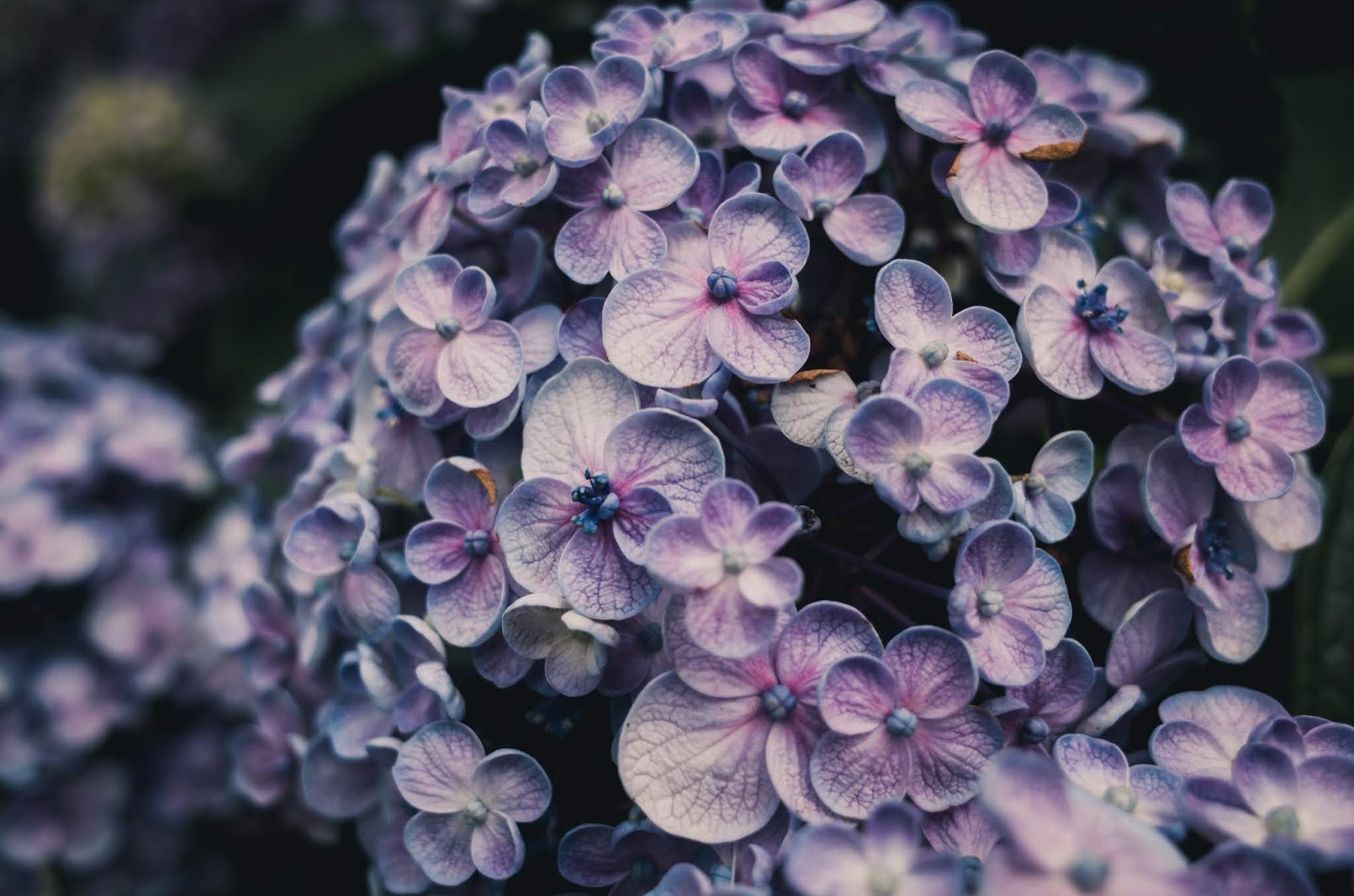 Beautiful closeup photography of a purple lilac floral branch. With pretty greenery backdrop and small lilac flowers.