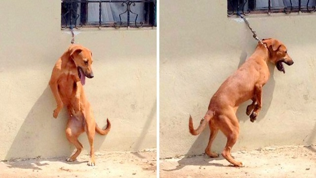 Dog On Short Chain Made To Stand On Back Legs All Day, Cries In The Heat Every Day