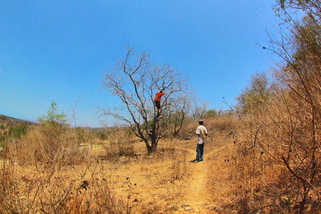 pohon maja
