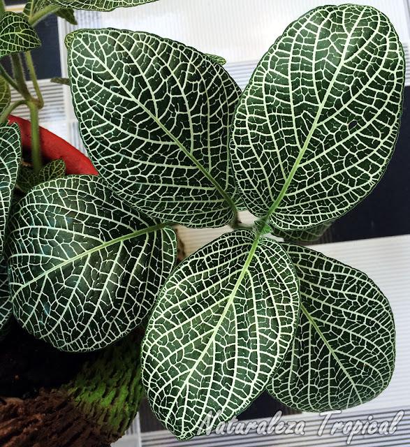 Detalle de las hojas de una Fitonia, Fittonia verschaffeltii o Fittonia argyroneura