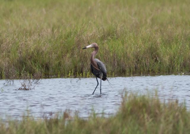 Reddish Egret - Merritt Island, Florida
