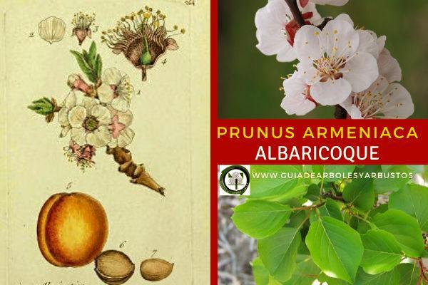 Prunus armeniaca, albaricoque, pertenece a la familia Rosáceas. Éstos arboles frutales se encuentran en barrancos y en colinas