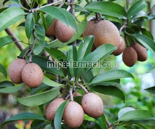 Manfaat buah sawo untuk kesehatan tubuh kita