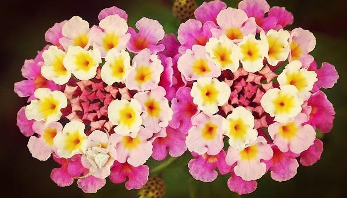 Flor de duende de lantana