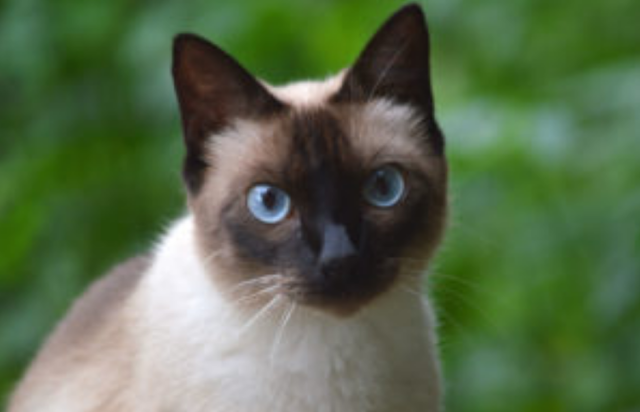 Penyakit saluran kemih pada kucing