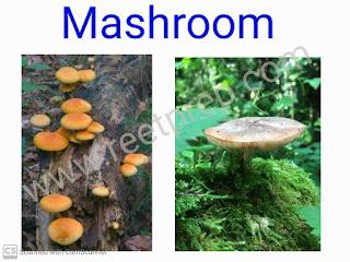 Mashroom