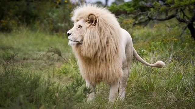Sư tử trong công viên Ấn Độ bị nhiễm Covid-19