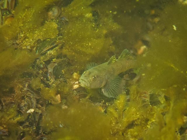 Meren pohjaa, jossa rihmamaisen levän ja sinisimpukoiden keskellä on mustatäplätokko kalalaji.