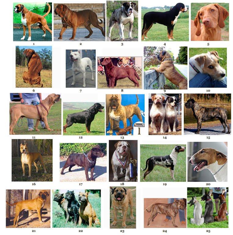 54824fc34 Dogue de Bordeaux 3. Alapaha Blue Bull Dog 4. Great Swiss Mountain Dog 5.  Vizsla 6. Rhodesian Ridgeback 7. Dogo Argentino 8. Chocolate Labrador  Retriever 9.