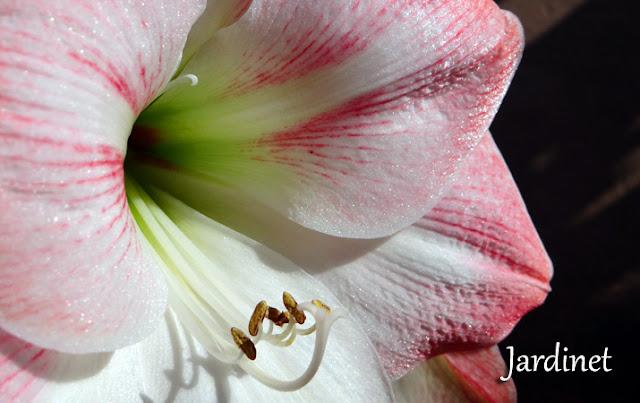 Amarílis - Rose Blanc - Apleblossom - Floração
