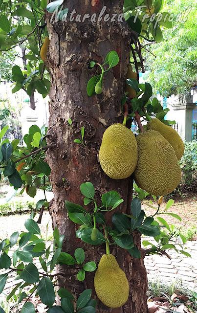 Frutos en el tronco del Árbol de Jack, Artocarpus heterophyllum
