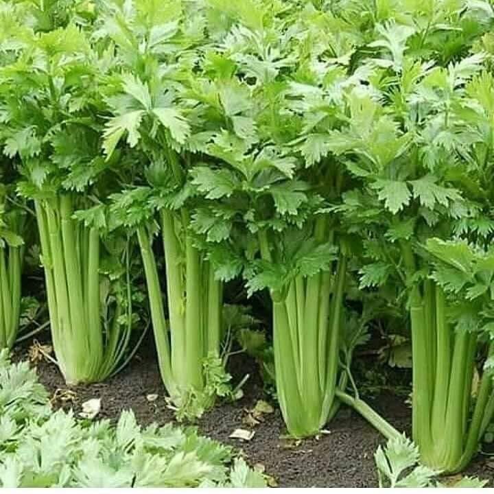 طريقة زراعة الكرفس في المنزل