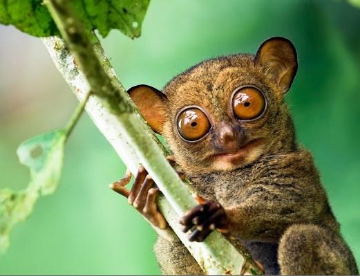 Tersiyer nedir? tersiyer hayvanı nasıldır? nerede yaşar? tersiyerler kaç yıl ne kadar yaşar? tersiyer nasıl beslenir bakılır? tersiyer hakkında bilgi.