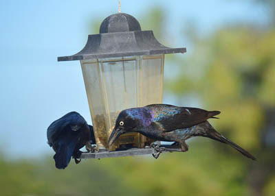 Photo of 2 Common Grackles eating from a hopper feeder