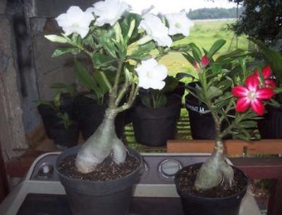 Perawatan Bunga Adenium