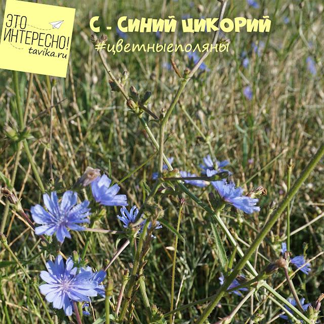 цветение цикория в Крыму