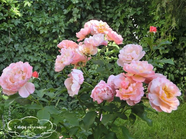 роза мари кюри, розарии, розы, планы посадки роз, цветовые сочетания роз