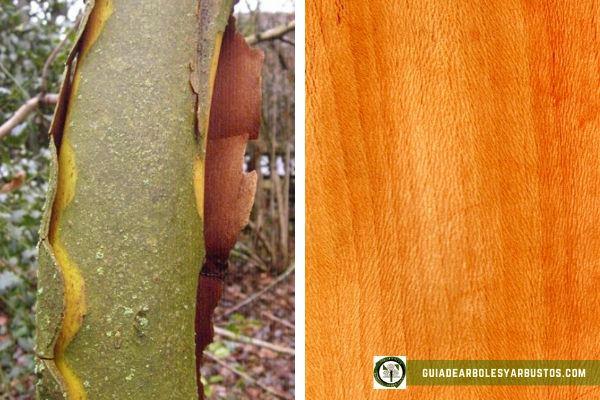 Madera de plátano de sombra, Platanus hispanica, es pesada, de grano fino y muy útil para las familias autosuficientes