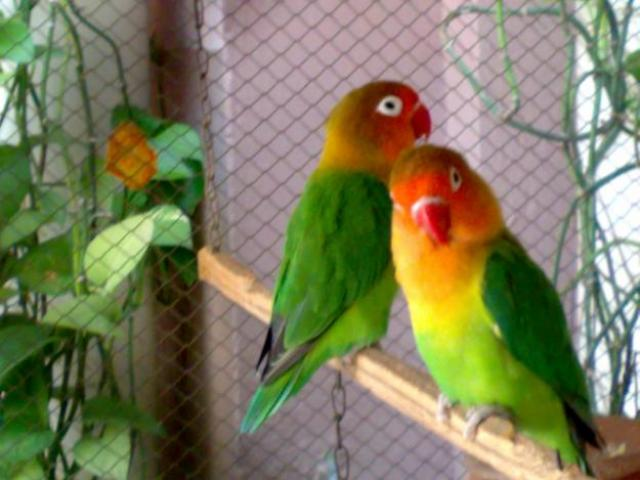 Birds Lover Gallery Fisher Love Bird