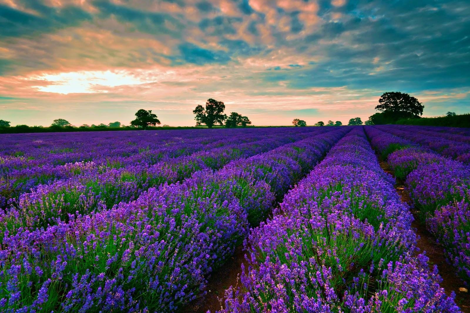 hình nền hoa oải hương màu tím đẹp