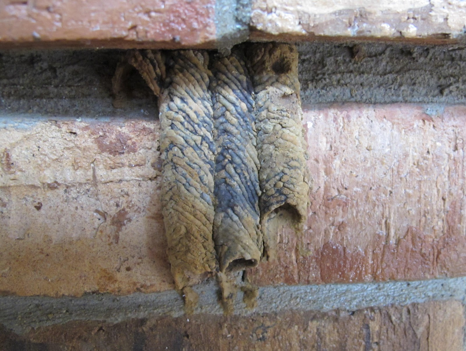 Blue Jay Barrens: Pipe Organ Wasp Nest