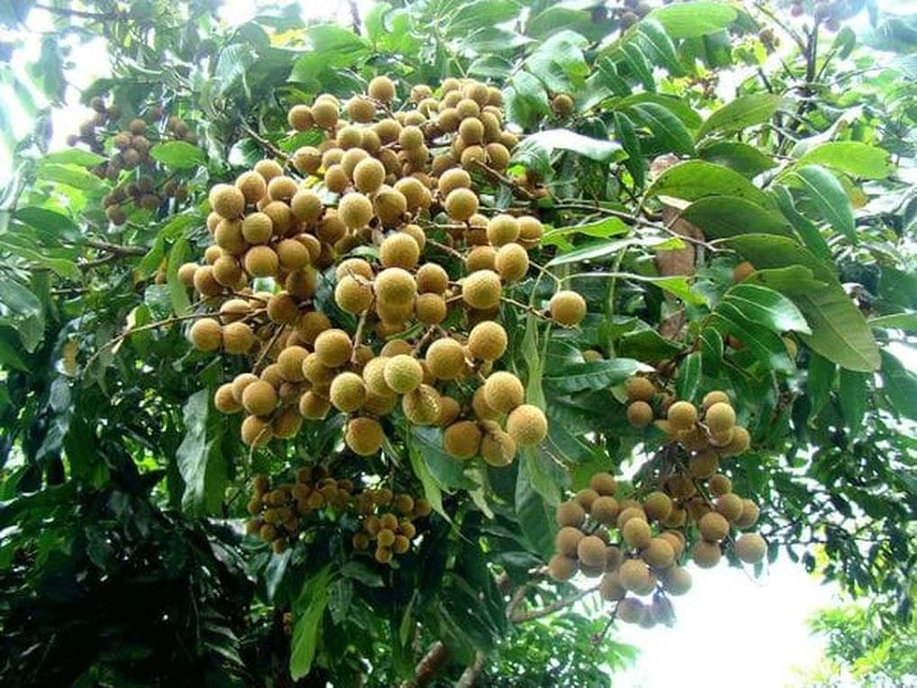 benih buah kelengkeng bangkok 5 seed Malang