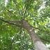 इतना पूजनीय कर दो वृक्ष को की कभी कोई न काट पाए