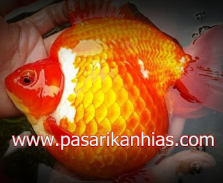 Ikan hias Mas Koki Ranchu