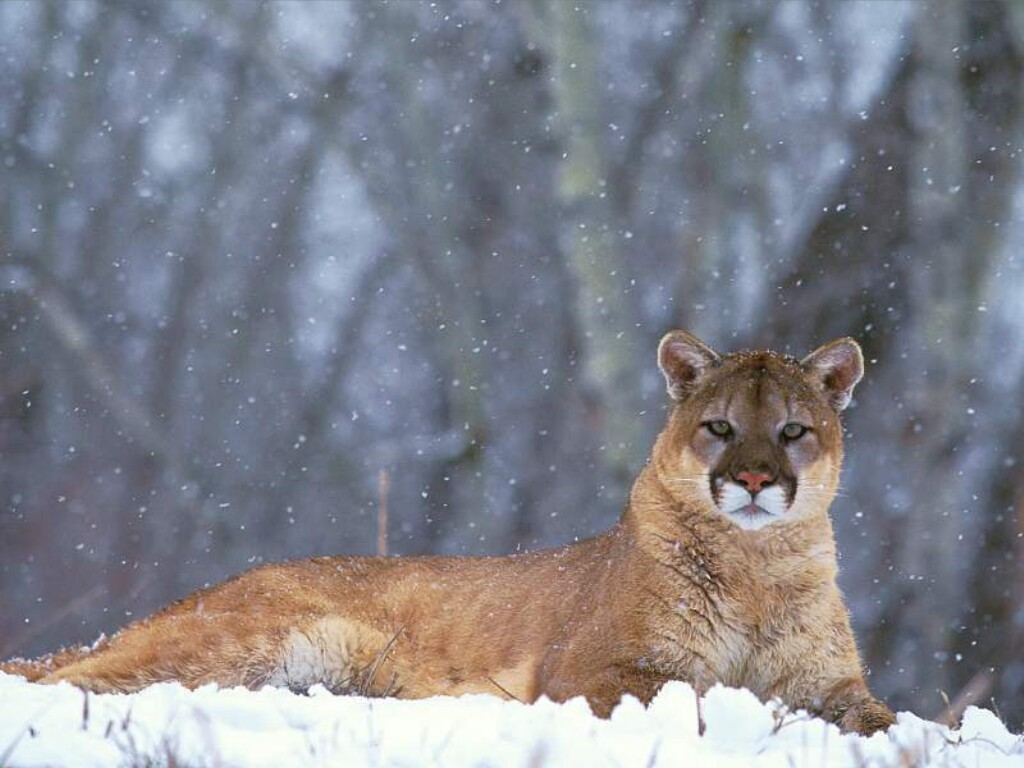 All About Animal Wildlife: Mountain Lion Few Facts ... - photo#44