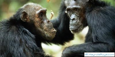 Rüyada Şempanze Görmek ile alakalı tabirler, Rüyada görmek ne anlama gelir, nasıl tabir edilir? Rüya tabirlerine göre ve dini rüya tabirlerinde anlamı tabiri nedir