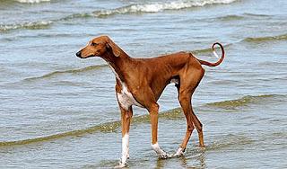 azawakh كلب
