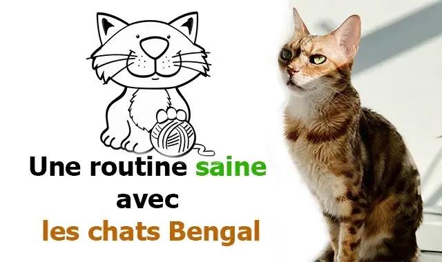 routine pour les chats du Bengal