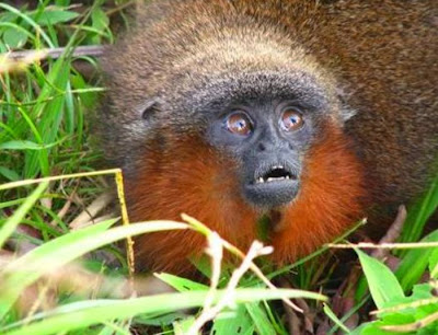 Purring monkey among new species discovered in Amazon Rainforest