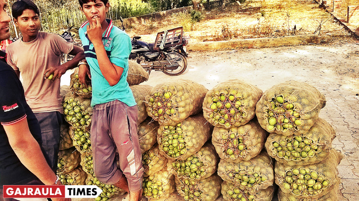mango-crop-amroha-district