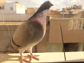 حمام -  الحمام Pigeon