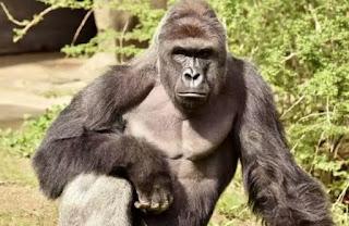 Nigerians React As 'Gorilla Swallows N6.8million In Kano Zoo'