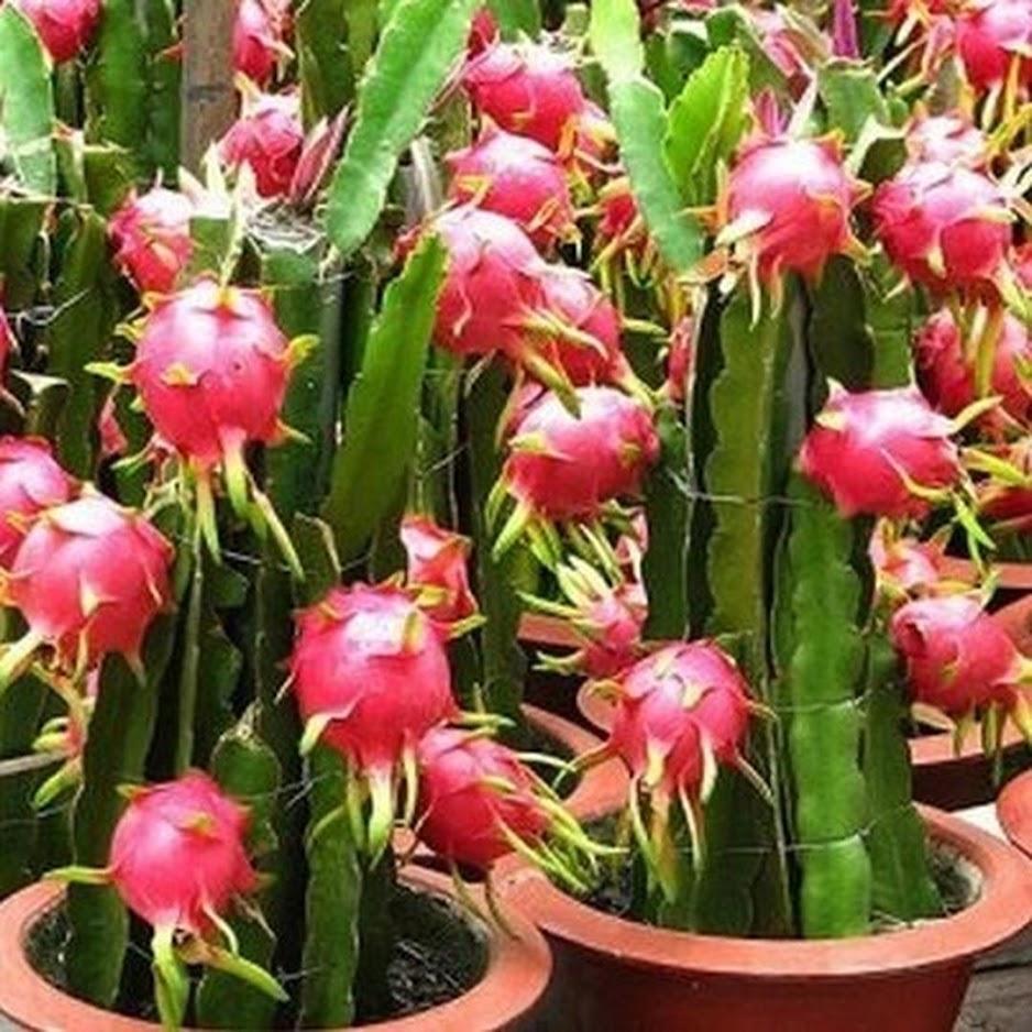 50 Biji Benih Bibit Buah Naga Merah Dragon fruit Seed Sumatra Barat