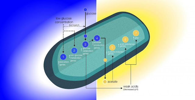 Altered Extracellular Model. Biomolecular model based on the gene expression data analyses support the reduction of glucose molecules (blue gradient) and acid buildup (gold gradient) proposed to occur in the boundary layer around the cell. This altered extracellular environment has been hypothesized to result as an effect of reduced gravity-driven forces acting on the cell-fluid system and has been put forth as the biophysical mechanism governing bacterial behavior in space. Blue circles indicate overexpression of genes associated with metabolism, while gold circles represent the overexpression of acidic condition genes. Credit: Zea et al (2016)