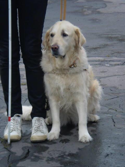 Vodicí pes Cilka sedí u nohou