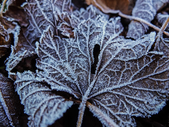 Frost covered brown maple tree leaf lying on the ground.