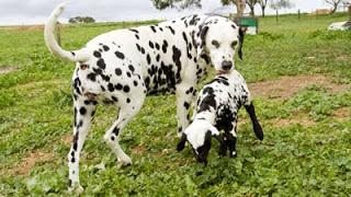 Kata Ilmu Info - Apakah dan Benarkah Anjing dan Kambing Selingkuh Melahirkan Anak Dalmatian