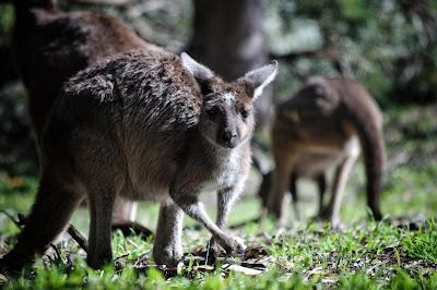 Satwa Liar Dilindungi Australia