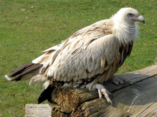 Indian birds - Image of Himalayan vulture - Gyps himalayensis