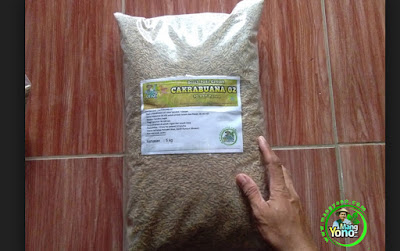 PETANI Pagaden Barat, Subang, Jabar.   Pembeli Benih Padi CAKRABUANA 02 (CB02) 90 HST Panen