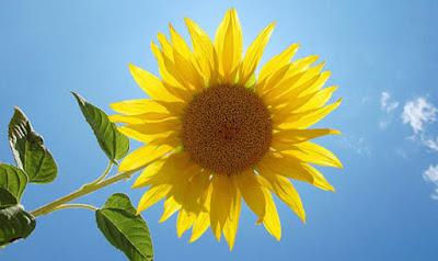 gambar bunga matahari (sunflowers)