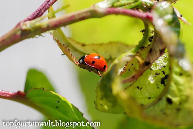 Marienkäfer | schwarze Kirschblattlaus | Nützling - Gartenblog Topfgartenwelt