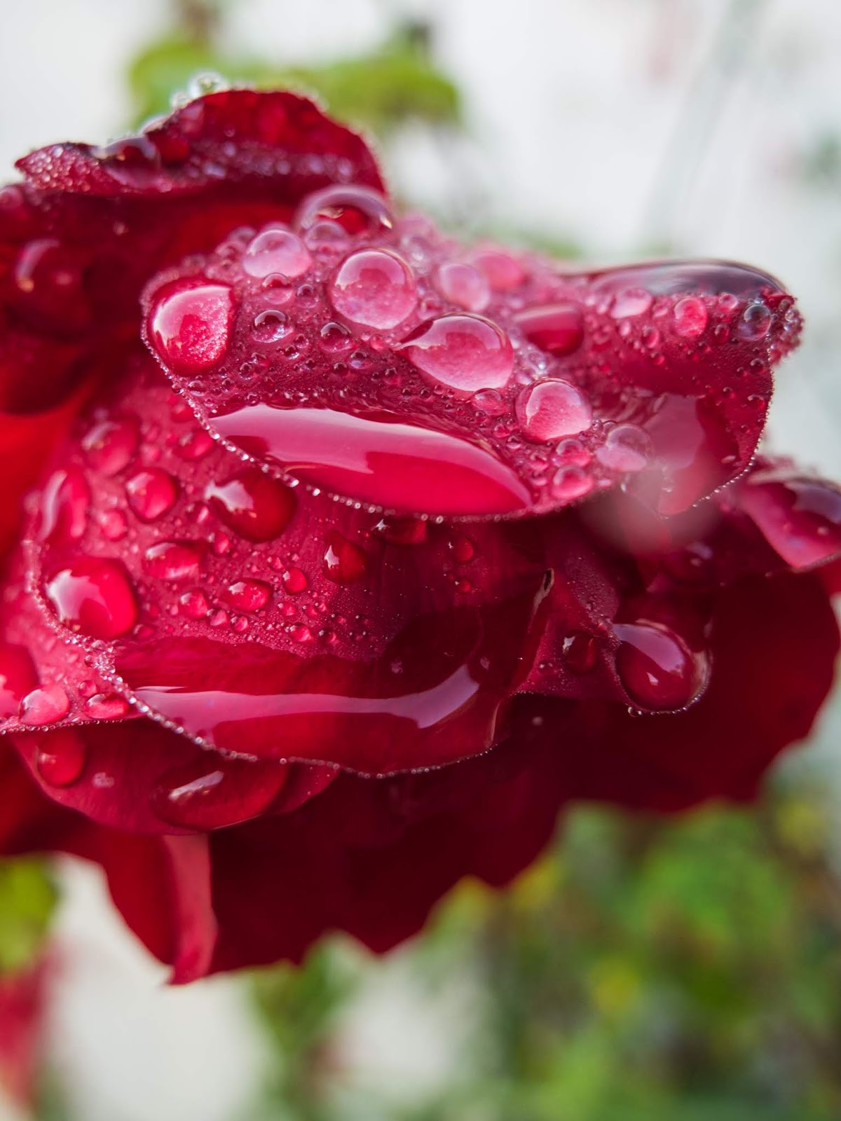 Macro of a Red Rose covered in rain drops.