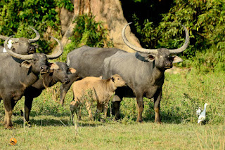 Wild Buffaloes Kaziranga