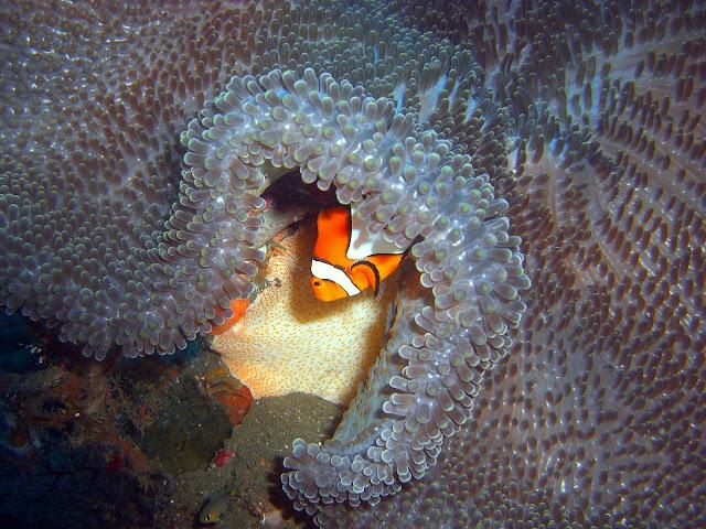 Reef fish, tulamben, bali, indonesia
